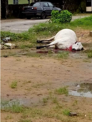 According to a report shared in Pidgin by Sapele Oghenek,a Fulani man lost his cow in Delta State due to electric shock.The cow stepped on a wire that was on the ground.Below is the story in Pidgin… 'Report reach us for studio say na BEDC electric wire nai kill one fat namanama cow for MTN Road close to Merit International School. According to reports, dem say the wire cut around 11:00 O'clock this morning wey rain dey fall.
