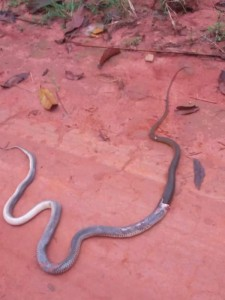 A Nigerian identified as Nnamdi who lives in Enugu took to social media to share photos of snake swallowing another snake at his new building site and wrote…. 'My brothers and sisters, this is what I found in front of my new developing site. A snake swallowing another snake. God answers prayers always'.