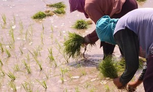The closure of Nigerian borders has energised rice farmers in the country who are now smiling to the bank due, the Minister for State for Agriculture and Rural Development, Mustapha Shehuri, has said.