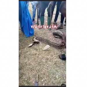 OOU Agricultural student hospitalized after a python attempted to strangle her during a practical class, today, in Ago Iwoye.