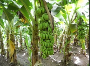 A motorcyclist is currently facing trial for allegedly trespassing into a plantation and stealing bananas worth N1.8 million.