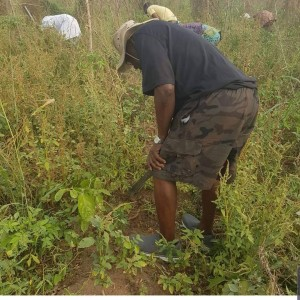 Olusegun Obasanjo Harvests Yam In His Farm In Ogun State (Photos)      Former President, Chief Olusegun Obasanjo on Monday, visited his homestead at Ibogun Olaogun village near Ifo, Ogun State to harvest his yam farm plantation. Pictures here captured some scene during the harvest.