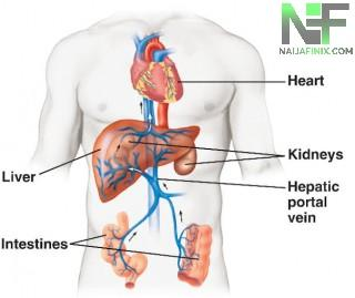 Most students and explorers are extremely bemused and puzzled amidst the Knowledge of Hepatic Portal vein may be because of poor Educational standard